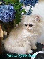 NINO des Kittens Breizh - Persan