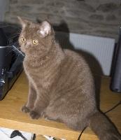 NEWTY D ARMOR EN ARGOAT - British Shorthair et Longhair