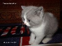 Neeson - British Shorthair et Longhair