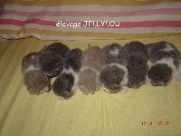 British Shorthair et Longhair - chatons British nés le 03.01.2017 - Jellylou