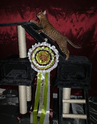 Ocicat Land - JJ championne