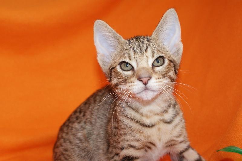 chaton ocicat ocicat land neiko femelle disponible en hauts de france 62 pas de calais. Black Bedroom Furniture Sets. Home Design Ideas