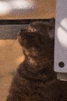 Du Domaine Elothib - Chaton disponible  - British Shorthair et Longhair