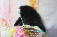 CHATON - Exotic Shorthair