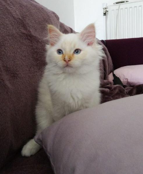 chaton ragdoll m le disponible en ile de france 77 seine et marne toutes les portees les. Black Bedroom Furniture Sets. Home Design Ideas