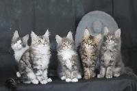 Maine Coon - chatons maines coons - Des Etoiles De Gaya