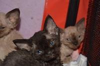 Devon Rex - De Western Cat's