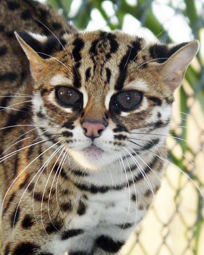 le chat leopard d\u0027asie