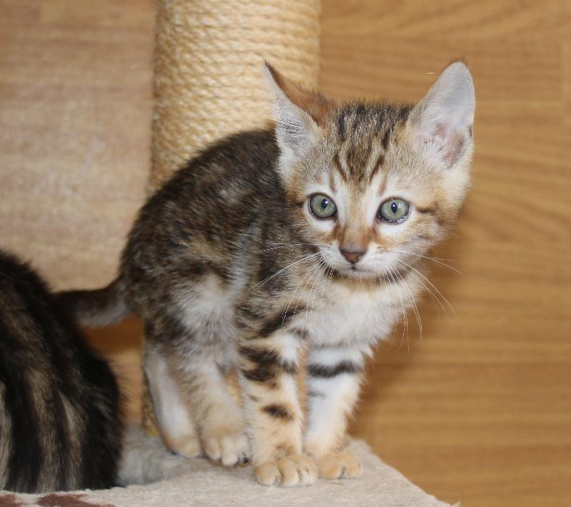 chaton bengal chaton male 2 m le disponible en ile de france 77 seine et marne toutes les. Black Bedroom Furniture Sets. Home Design Ideas