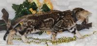 CHATON male collier noir - Bengal
