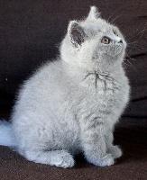 Nawa - British Shorthair et Longhair