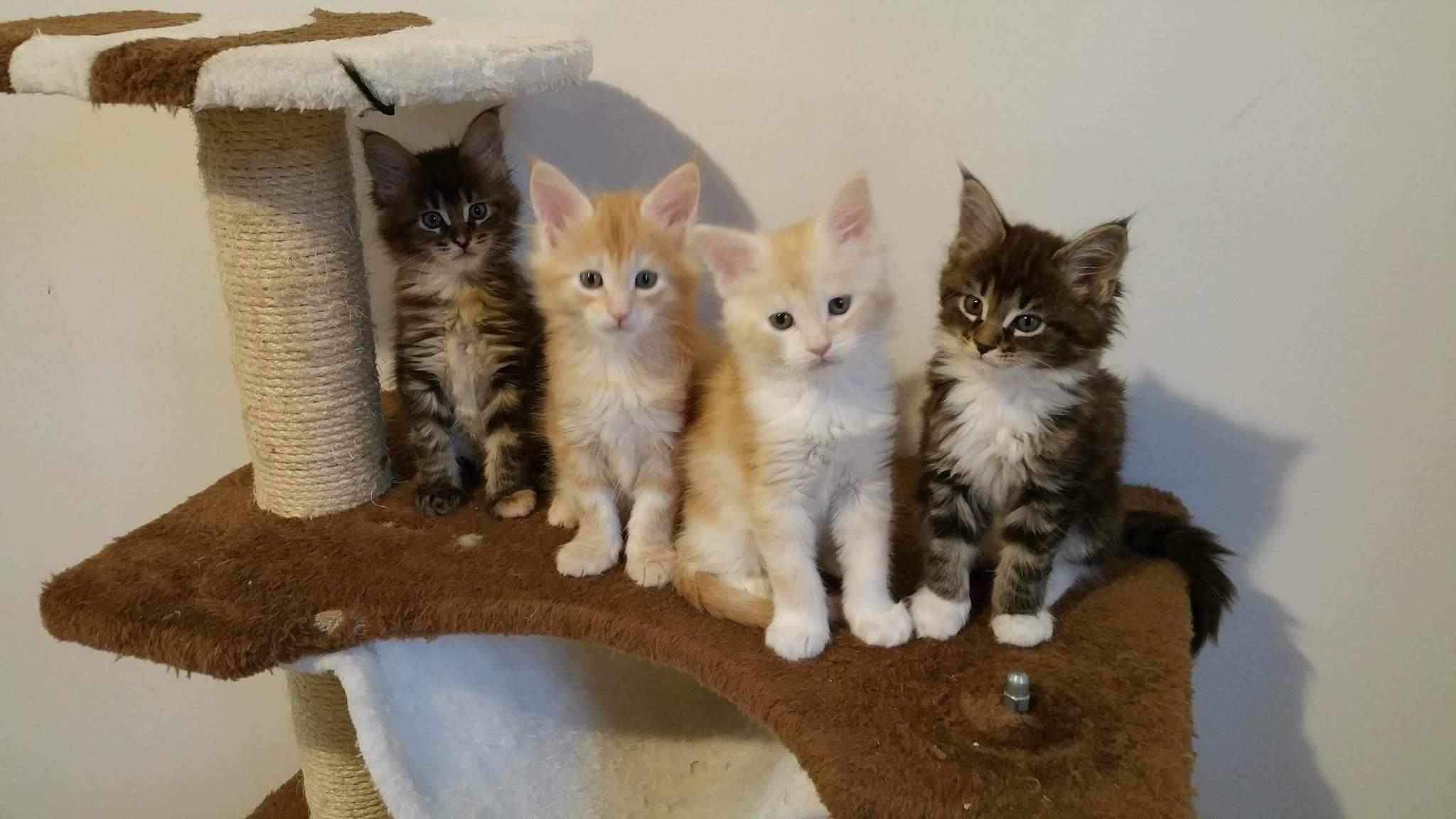 chatons de la racemaine coondisponibles sur chatons de france. Black Bedroom Furniture Sets. Home Design Ideas