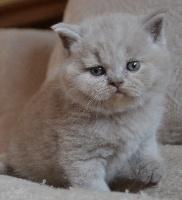 Chubby-Moon's - Chaton disponible  - British Shorthair et Longhair
