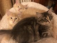 Norvégien - Les chatons de Jolie Môme et de Joker - du val prieuré