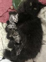 Maine Coon - Jolie portée de chatons Maine Coon - Des Chichicoons