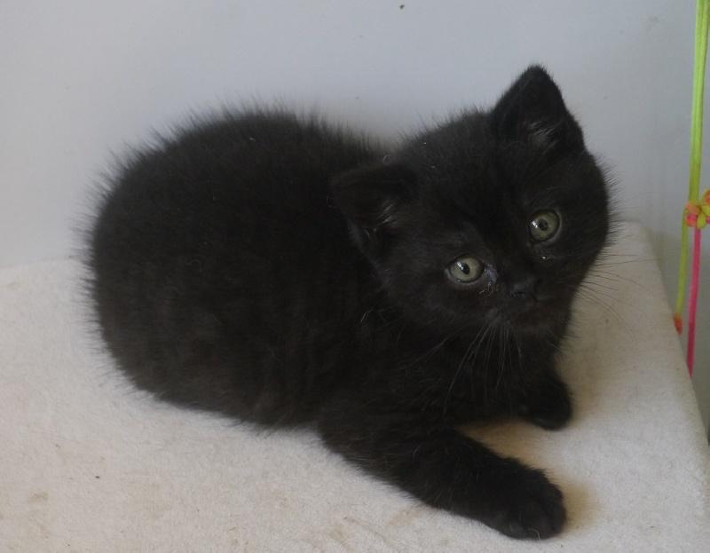 Queens cats o'Zorro - Male Black -
