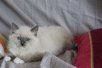 OMAR BLUE MITTED - Ragdoll