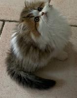 Persan - Magnifique petite femelle - De La Licorne Des Anges