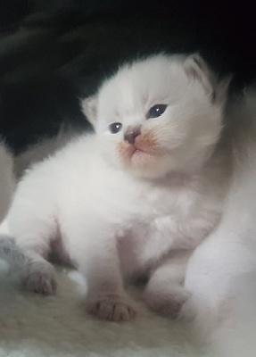 Sibérien - chatons Sibérien Neva Masquerade - Du Domaine De Malou