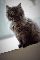 Nestea  - British Shorthair et Longhair