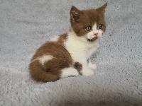 British Shorthair et Longhair - Magnifiques chatons britishs shorthairs dans toute la france - The Caress Of Love's