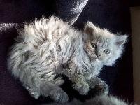 De La Tribu Poilus - Chaton disponible  - Selkirk Rex poil court et poil long