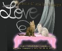 British Shorthair et Longhair - A réserver somptueux chatons british - Of British Archanges