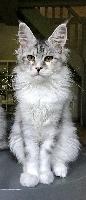 Paris Lynx - Chaton disponible  - Maine Coon