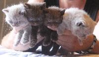 British Shorthair et Longhair - Les petits matous - Du P'tit Mec
