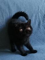 Ohara scarlett - Exotic Shorthair