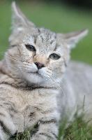 Pixie-Bob poil court et poil long - chatons pixie-bobs (pixiebobs) Nuage Rouge et Mishka - du FarWest