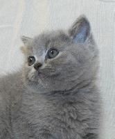 CHATON Scottish Straight bleu  - British Shorthair et Longhair