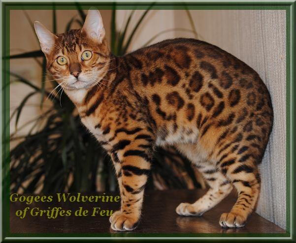 Gogees wolverine of griffes de feu chat de race toutes - Couper les griffes d un chaton de 2 mois ...