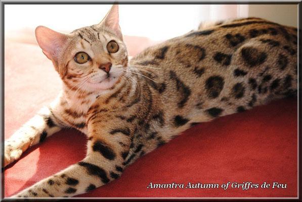 Amantra autumn of griffes de feu chat de race toutes races - Couper les griffes d un chaton de 2 mois ...