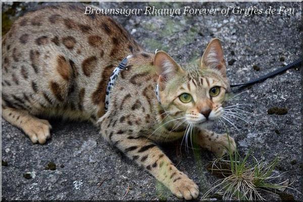 Brownsugar rhanya forever of griffes de feu chat de race - Couper les griffes d un chaton de 2 mois ...