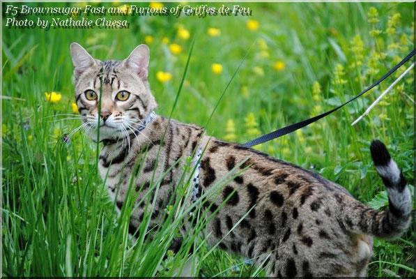Brownsugar fast and furious of griffes de feu chat de race - Couper les griffes d un chaton de 2 mois ...