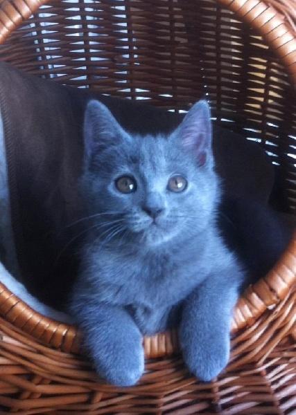 elevage des chevaliers bleus eleveur de chats chartreux. Black Bedroom Furniture Sets. Home Design Ideas
