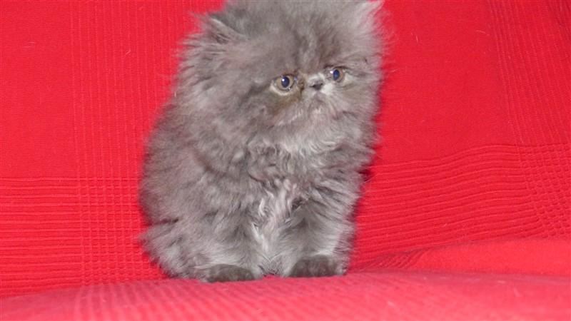 chaton exotic shorthair lagon chaton persan bleu 800euro m le disponible en nouvelle. Black Bedroom Furniture Sets. Home Design Ideas