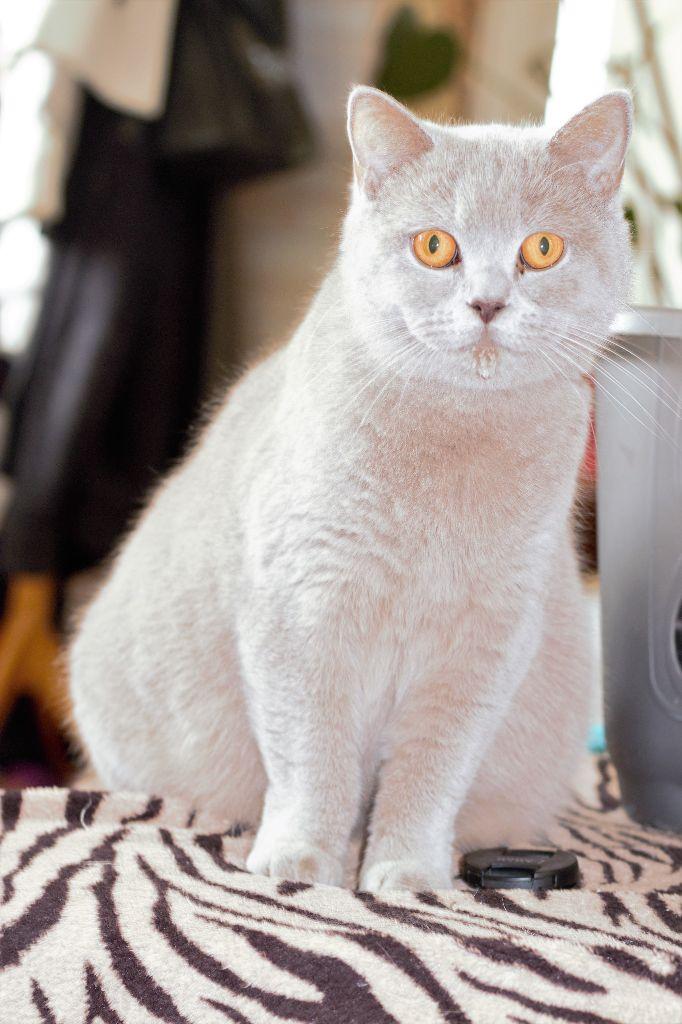 Les British Shorthair et Longhair de l'affixe Of Englli'Cats
