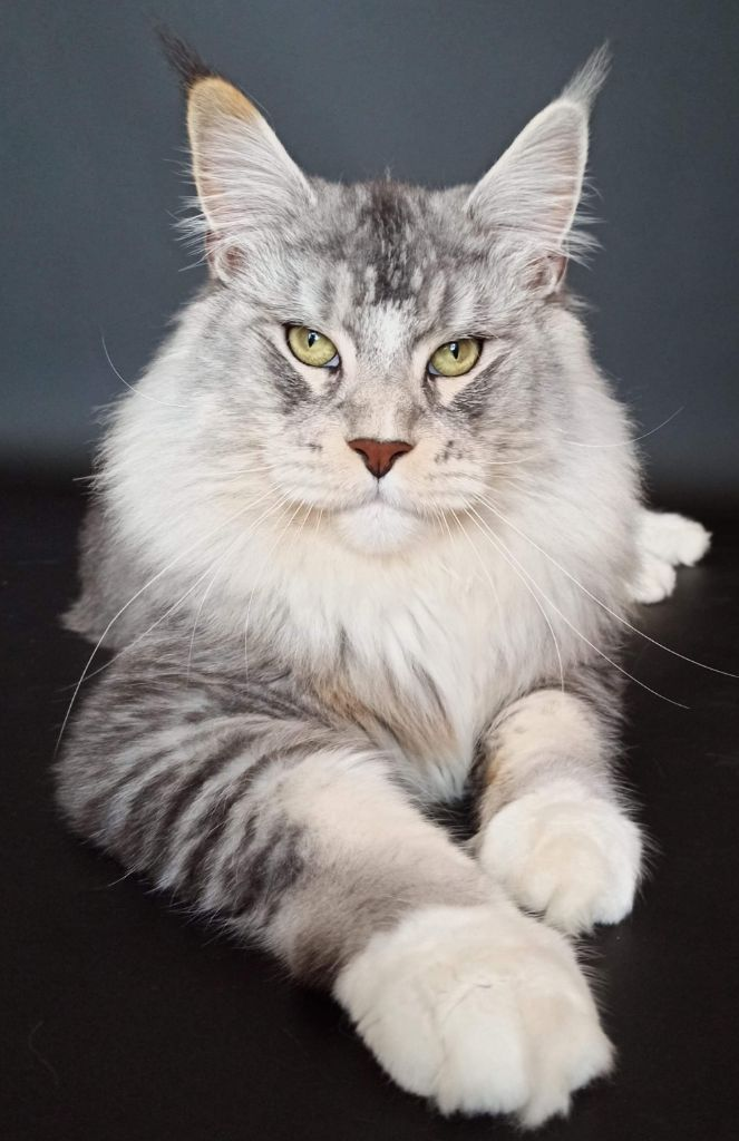 Maine Coon - CH. Discoverer olimpian*ru