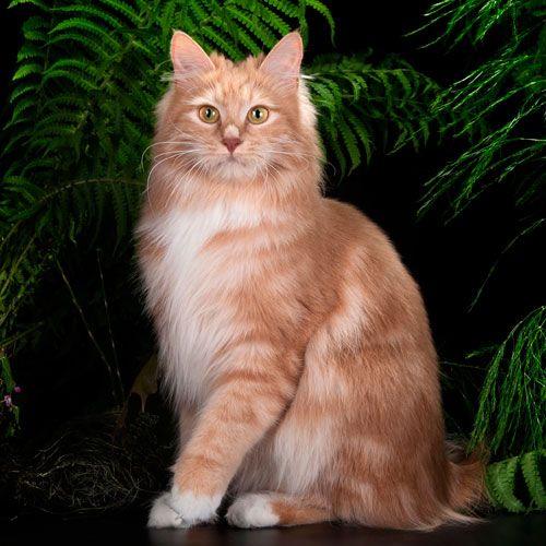 Kurilian Bobtail poil court et poil long - Arletta la belle grand pompon