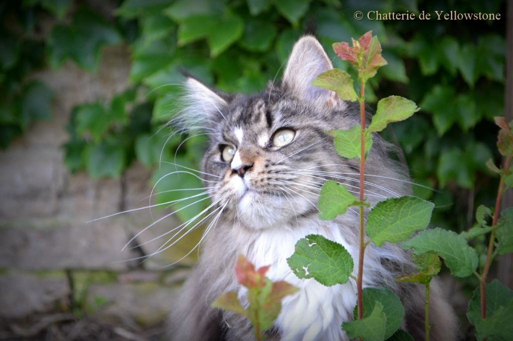 Maine Coon - Nanouk Mist Of Avalon