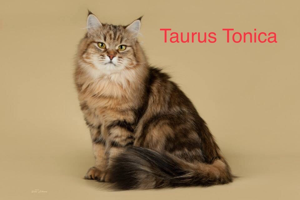 Sibérien - Titre Initial Taurus tonica