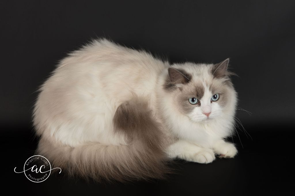 Ragdoll - CH. Obby One de la Chat'ouille