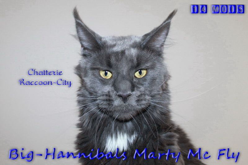 Maine Coon - big-hannibals Marty mc fly