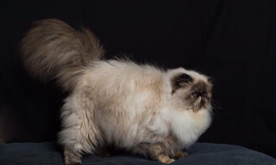 Persan - Mam'zelle coco de la vénus de caufour