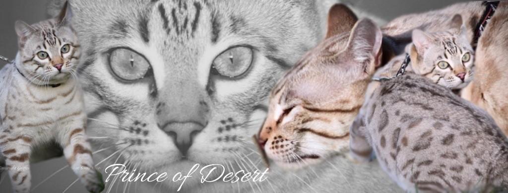 Bengal - Prince of desert des Griffes De Feu