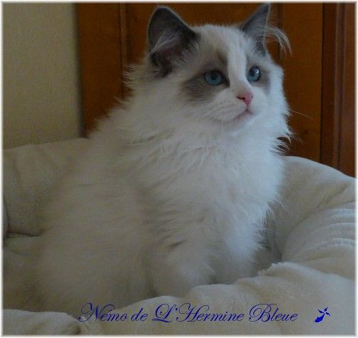 Nemo De L'Hermine Bleue