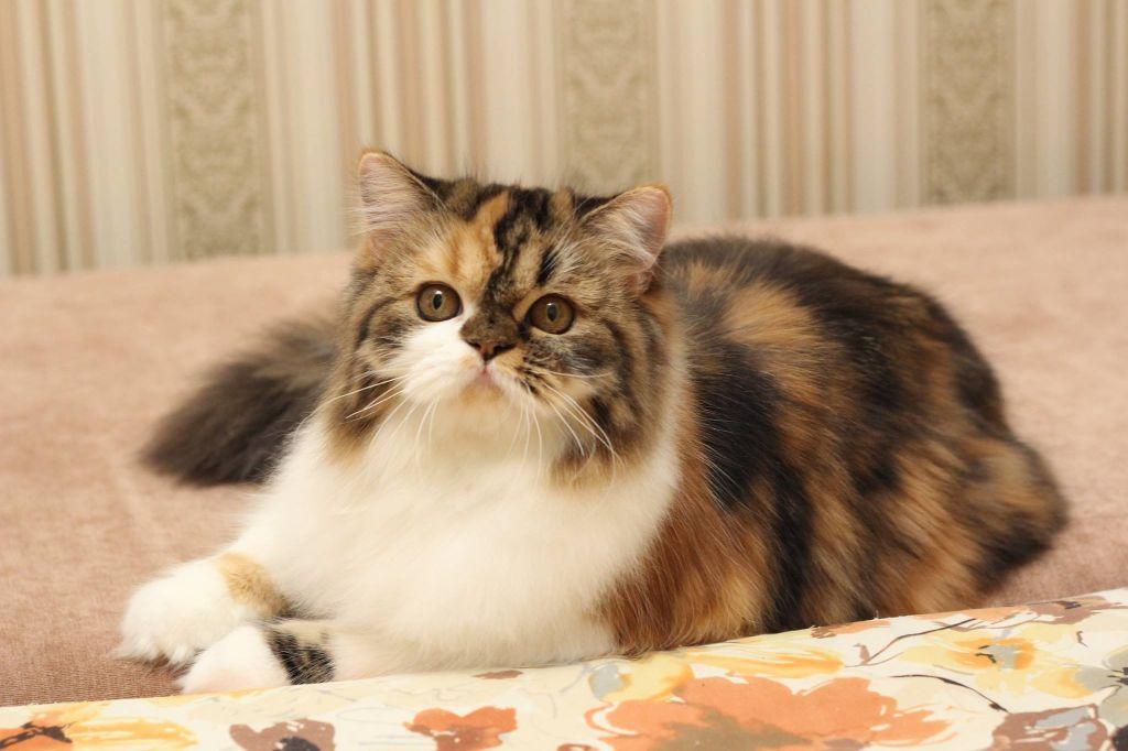 Les Highland Fold de l'affixe Of Englli'Cats