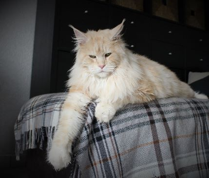 Maine Coon - Jesse du Museum Of Coon's